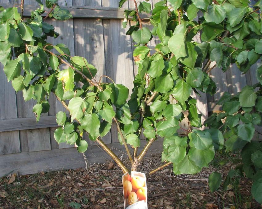 Семь причин, почему не плодоносит абрикос