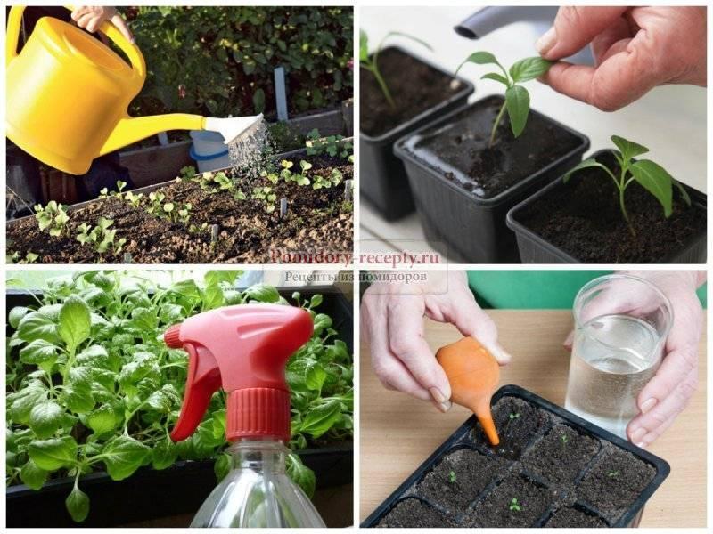 Как часто и когда можно поливать рассаду помидор (томатов) после высадки в открытый грунт