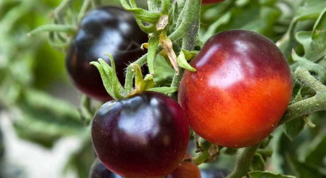 Характеристика и описание сорта томата индиго роуз