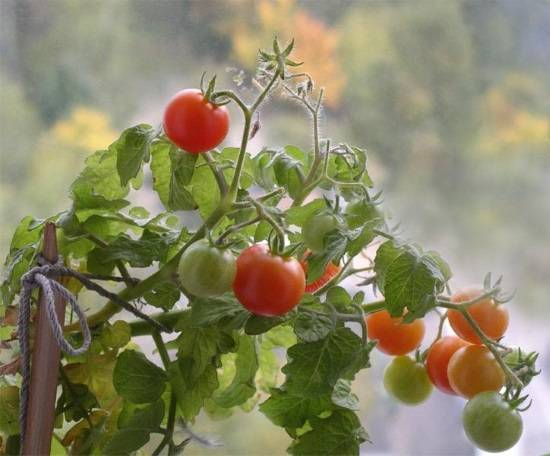Помидоры черри: выращивание в открытом грунте