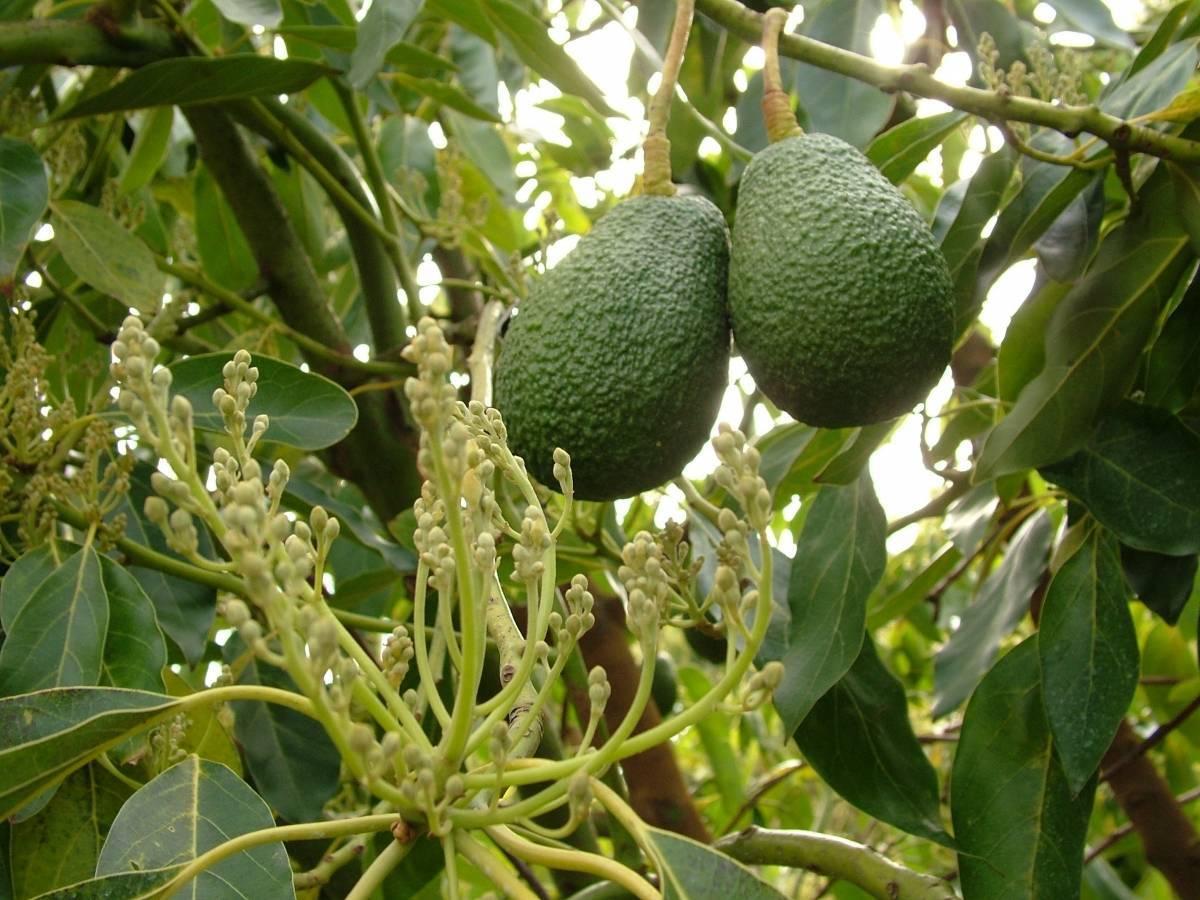 Авокадо: фото листьев и плода растения, что это такое, где выращивают и как выращивают дома?