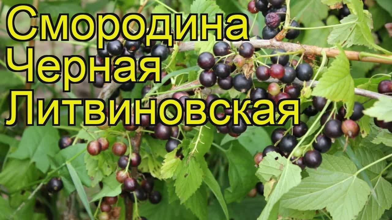 Смородина черная Литвиновская: характеристика, посадка и уход