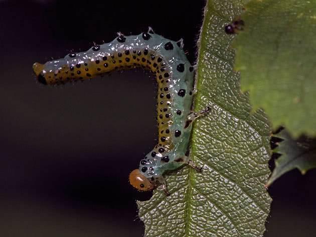Все о гусеницах на кусте крыжовника, объедающих листочки: как бороться, чем обработать