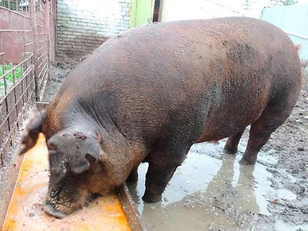 Свиньи Ландрас: описание, содержание и кормление