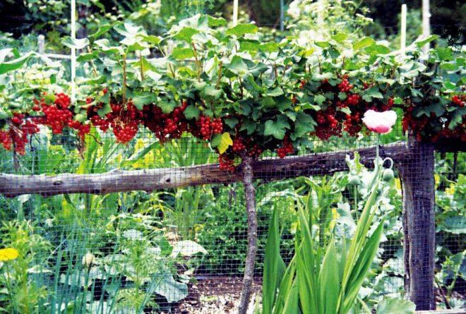 Описание и выращивание смородины на штамбе своими руками, посадка и уход