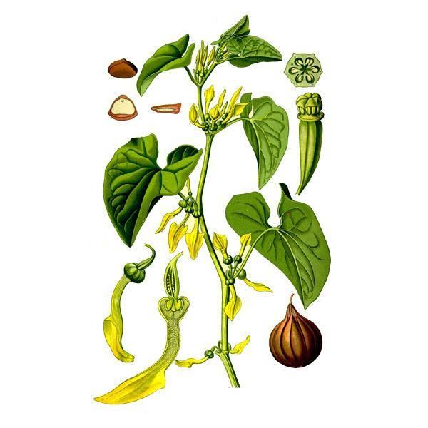 Растение кирказон ломоносовидный: фото и описание, лечебные свойства травы, применение в народной медицине