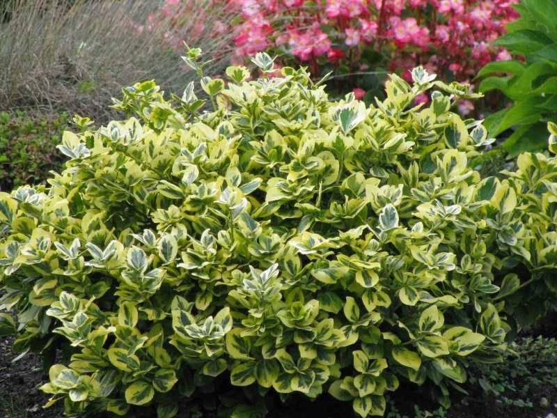 Растение бересклет: посадка и уход в открытом грунте, фото, размножение и обрезка