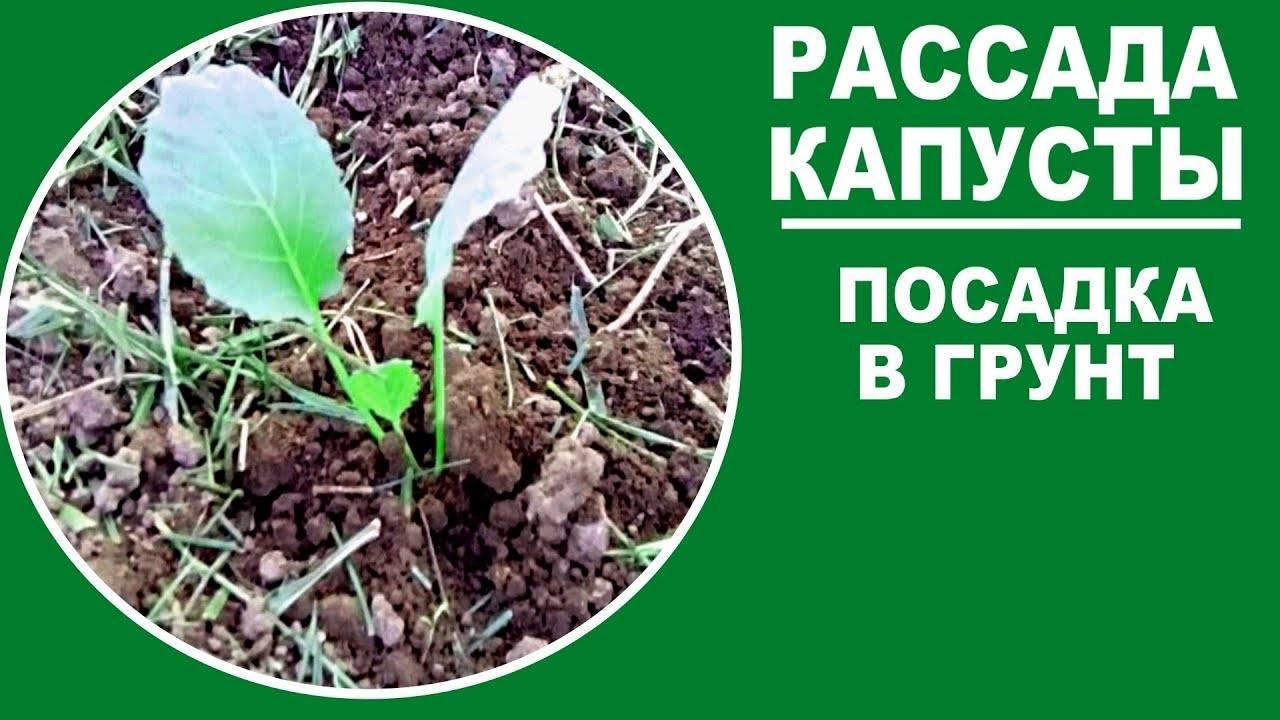 Выращивание белокочанной капусты в открытом грунте