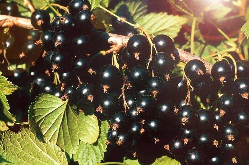 Характеристика и особенности сорта черной смородины сокровище