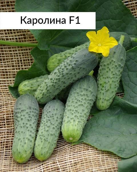 Теплолюбивые хрустящие плоды — огурец кристина f1: подробное описание сорта