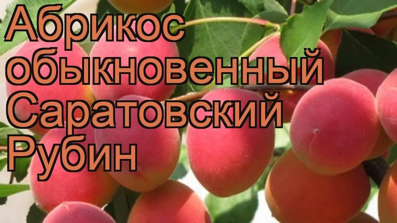 Абрикос саратовский рубин: находка для средней полосы