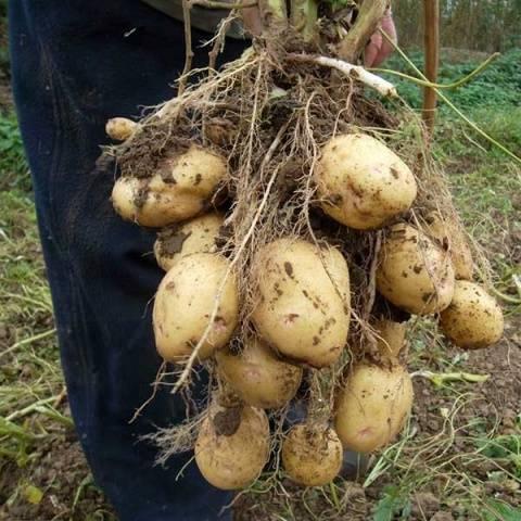 Сорт картошки голландской селекции голландка