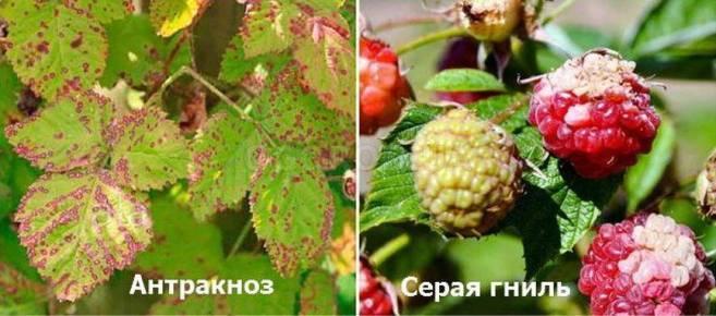 Малина весной: уход, обрезка, подкормка, обработка от вредителей