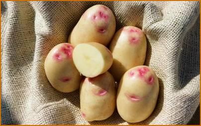 Какие лучшие сорта семенного картофеля для лучшего урожая, как выбрать