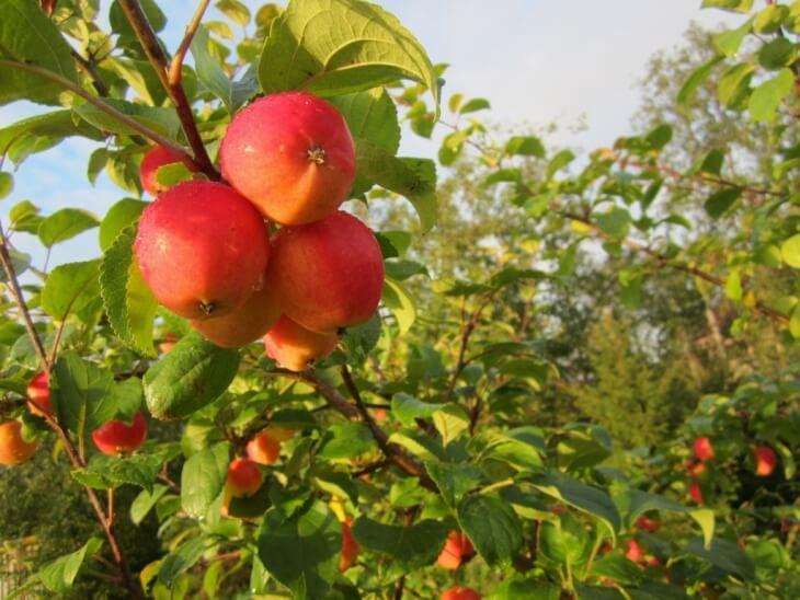 Как привить яблоню летом – пошаговая инструкция для начинающих