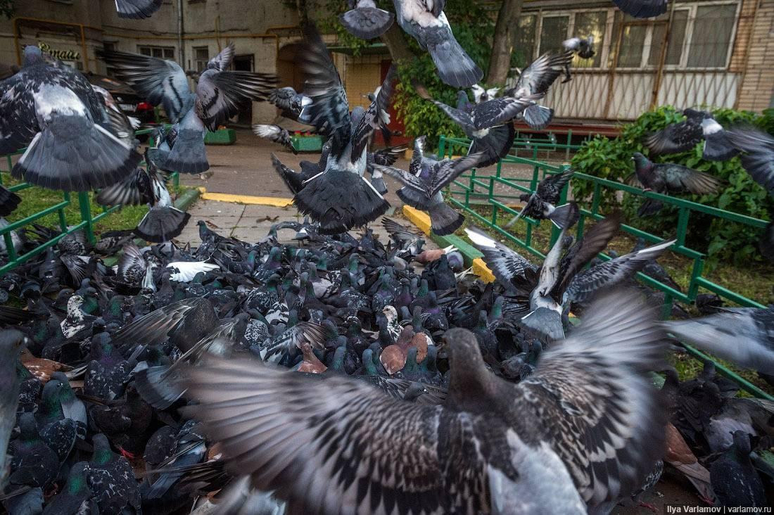 Голуби переносчики болезней для человека. чем можно заразиться от птиц в городе