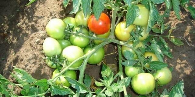 Описание томата любимый праздник и правила выращивания рассады