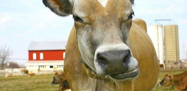 Послеродовой острый парез у коров – описание болезни, симптомы и возможные причины, а также профилактика и лечение острого недуга крс