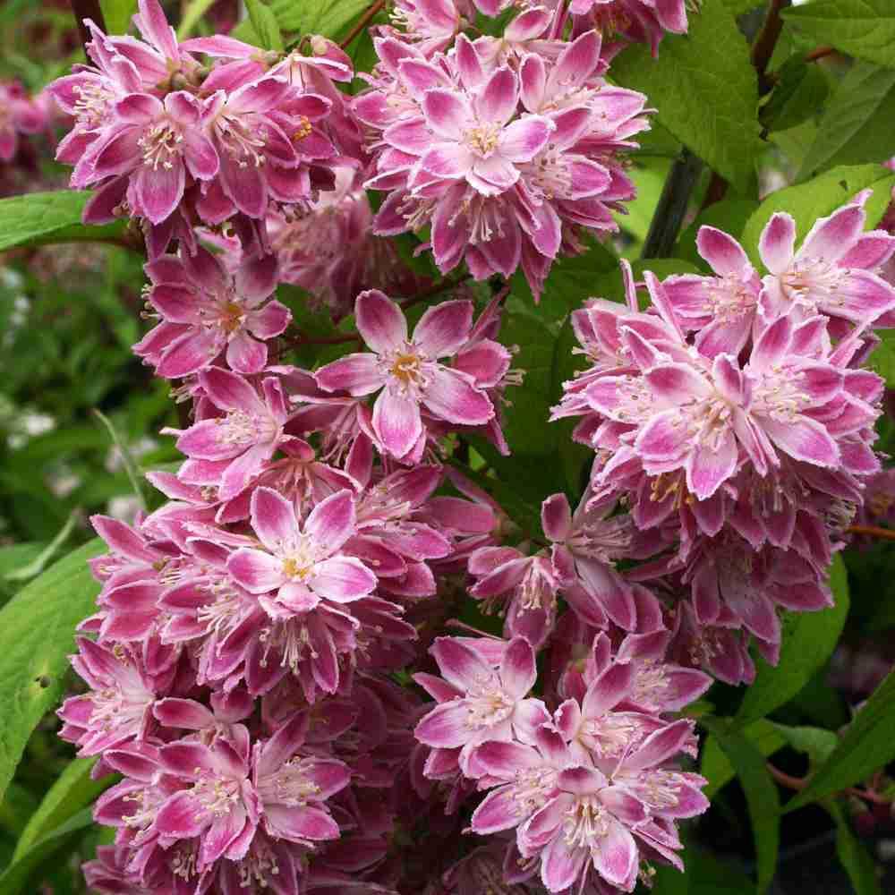 Дейция великолепная - описание растения, условия выращивания, уход, размножение, борьба с вредителями и болезнями