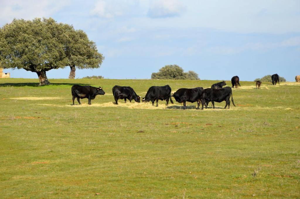 Айрширская порода коров - характеристика племенного скота: нетель, количество молока, фото крс, телочек, телят, быков