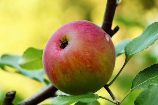 Летние сорта яблонь: описание, характеристика, фото, отзывы