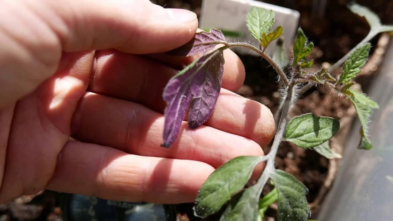 Опадают семядольные листья у рассады помидоров: почему, что делать