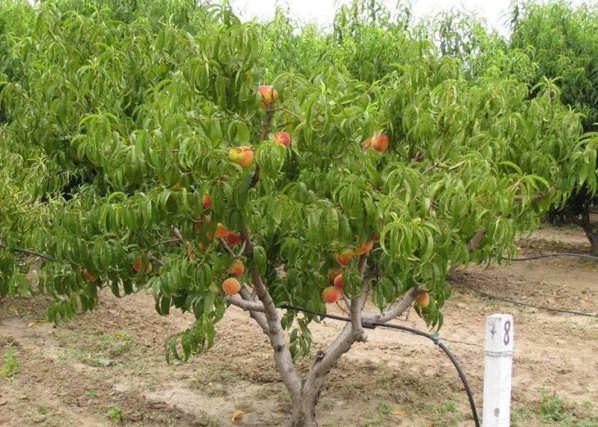 Персик сорта фрост — особенности посадки, выращивания и ухода