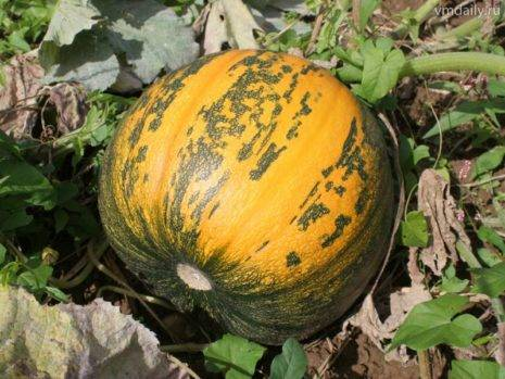 Особенности выращивания голосемянной тыквы и на какие семена стоит обратить внимание