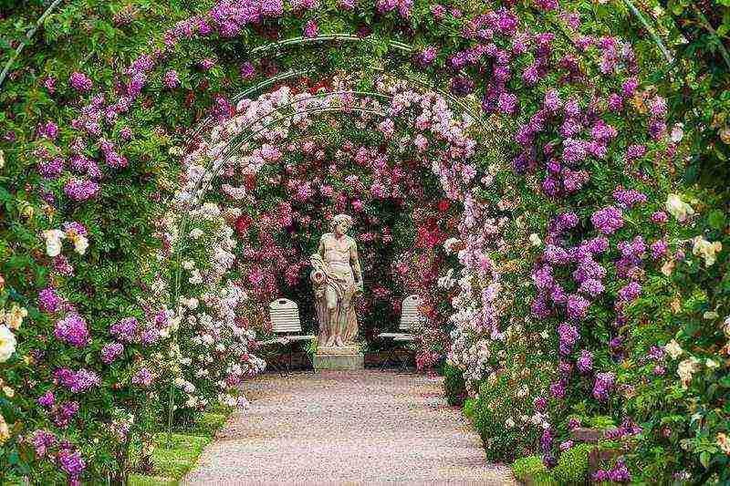 Что же это за удивительный цветок? виды плетистой розы, способы выращивания и уход