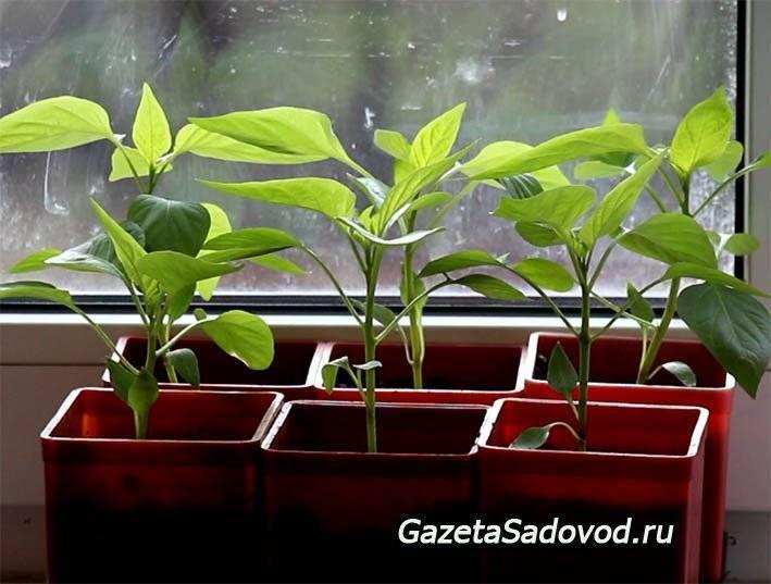 Как вырастить рассаду перца в домашних условиях: пошаговая инструкция