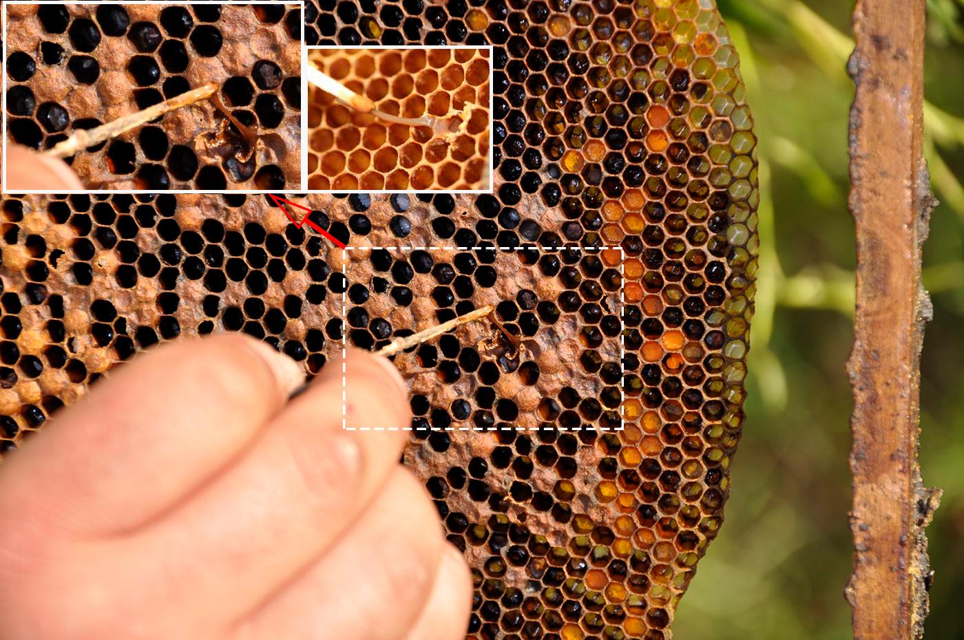 Виды и лечение гнильца пчел