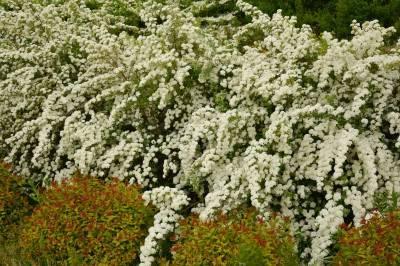 Характеристика и выращивание спиреи японской