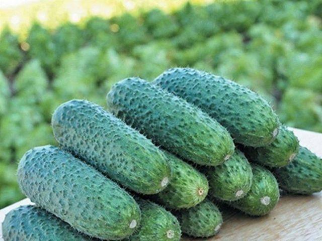 Описание сорта огурцов трилоджи f1 и советы по выращиванию
