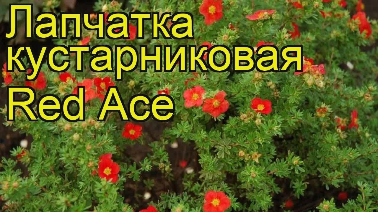 Лапчатка кустарниковая (курильский чай): уход, выращивание, размножение