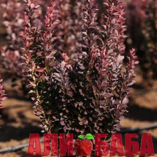 Барбарис ред пиллар — описание и выращивание