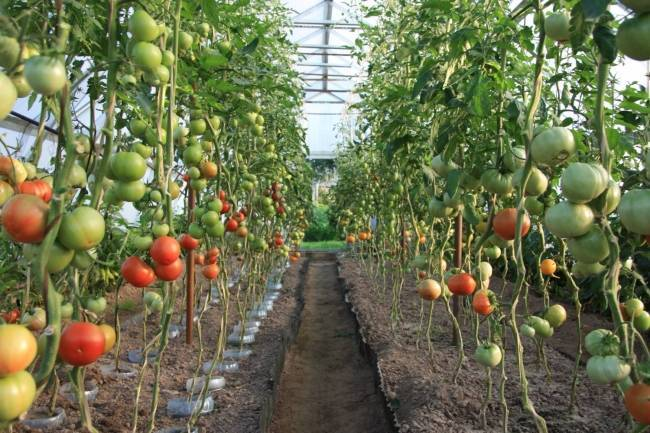 Защита и лечение томатов от фитофтороза в теплице и открытом грунте: лучшие способы профилактики и борьбы