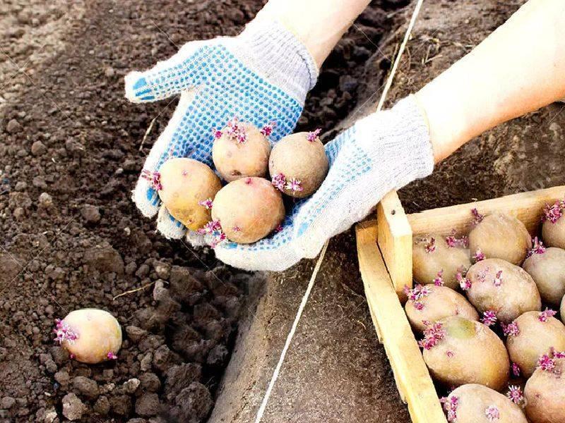 Особенности внесения удобрений для картошки при посадке