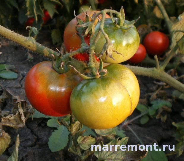 Ультраскороспелый гибридный томат «леопольд»: характеристики и достоинства сорта