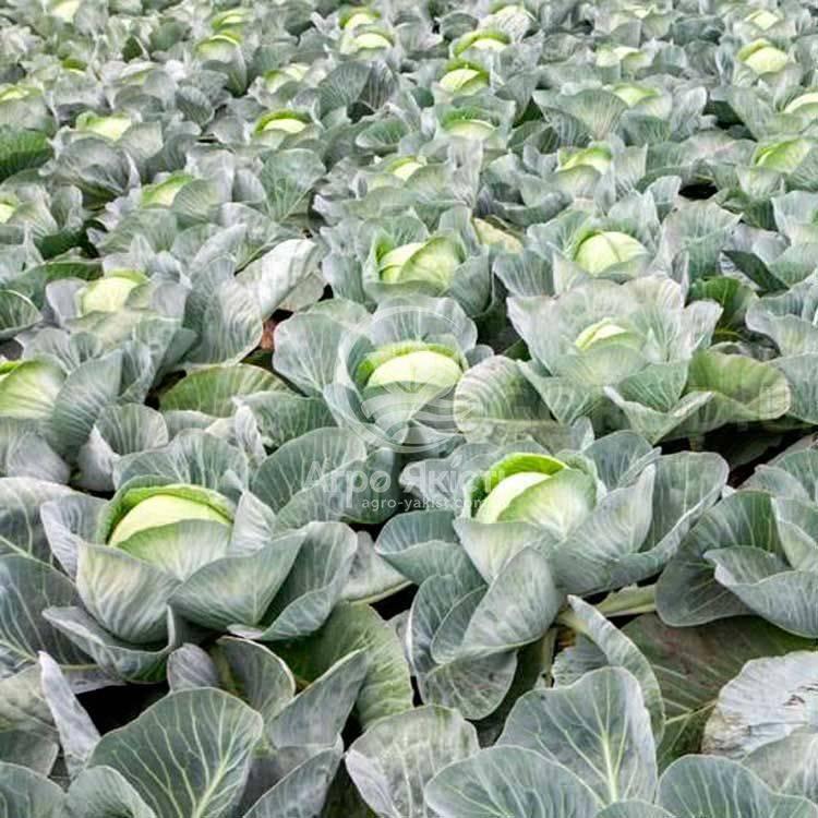 Капуста агрессор: 8 особенностей и 12 советов по выращиванию и уходу