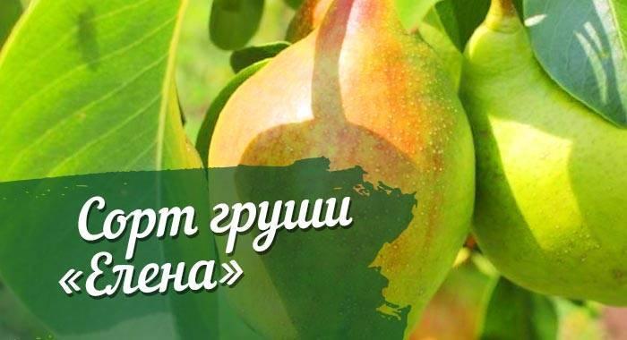 Груша аббат феттель: описание сорта, достоинства и недостатки, характеристика плодов, режим полива, схема подкормок, сроки сбора урожая, отзывы
