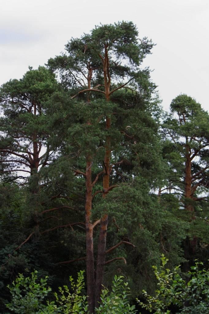 Сосна обыкновенная: описание, особенности посадки и размножения