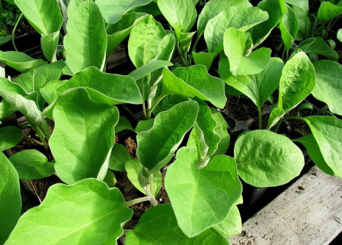 Как правильно выращивать рассаду баклажанов в домашних условиях? основные этапы выращивания с фото