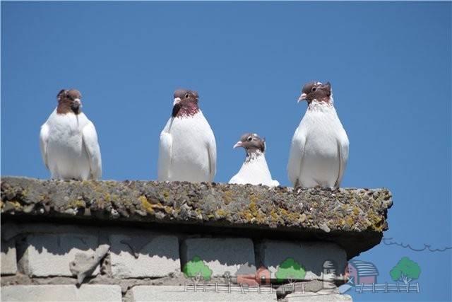 Достоинства иранских голубей