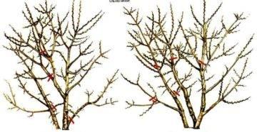 Пошаговая инструкция по посадке голубики и уходу за ней в открытом грунте