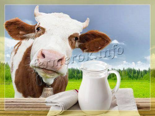 Когда у коровы появляется молоко?