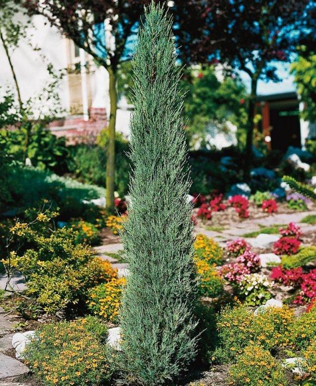 Можжевельника скайрокет — как вырастить изящный хвойник