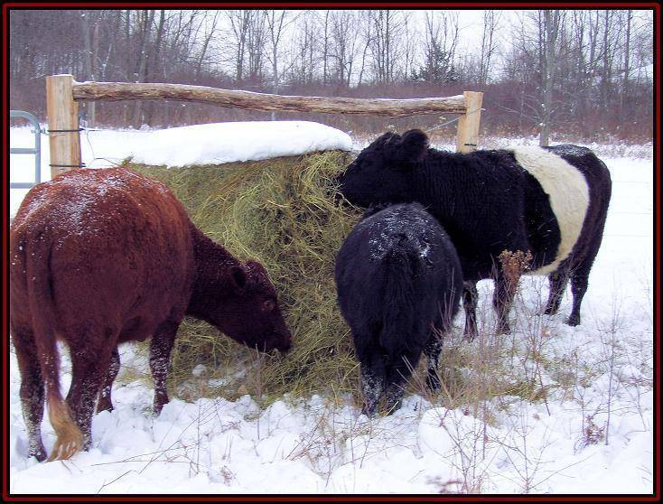 Когда можно пить молоко после отела коровы?