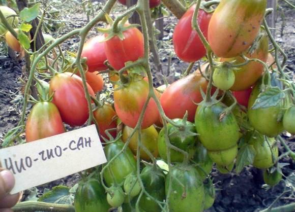 Томат чио чио сан: описание сорта и 6 правил агротехники