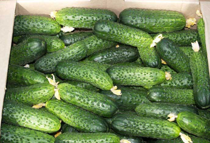 Огурцы директор f1: описание и выращивание сорта