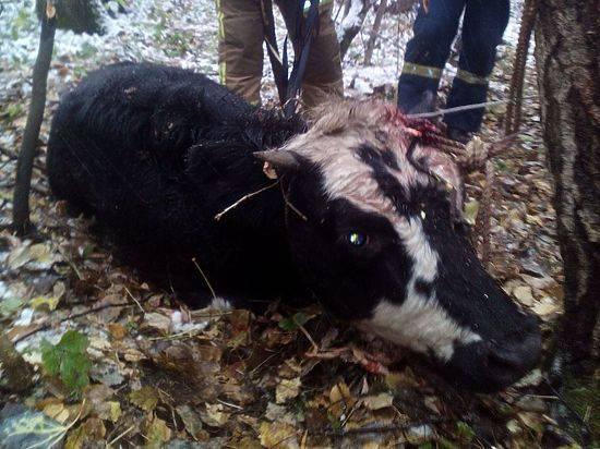 Зачем корове нужны рога, что делать при травмах и как правильно обезроживать коров